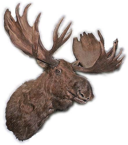 Mounted Alaskan Moose Head